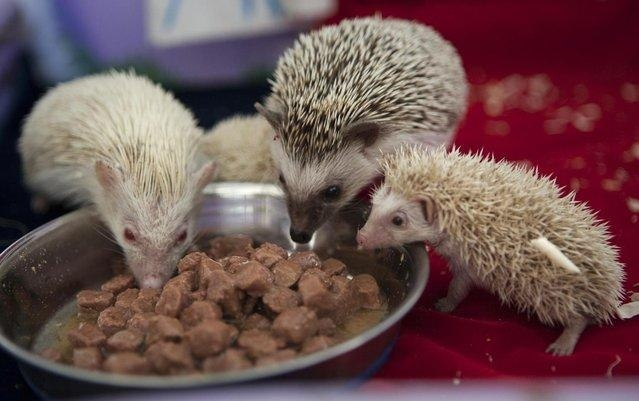 Albino Hedgehoglets Named After the Royal Prince