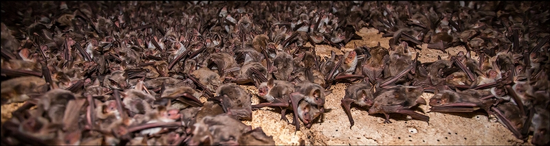 Mating Season of Bats