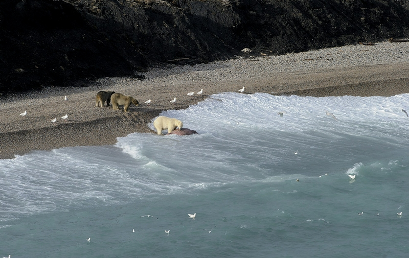 Hungry Bears Sharing a Dead Walrus