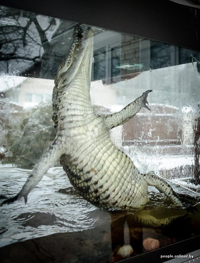 Man From Belarus Keeps Crocodile As Pet