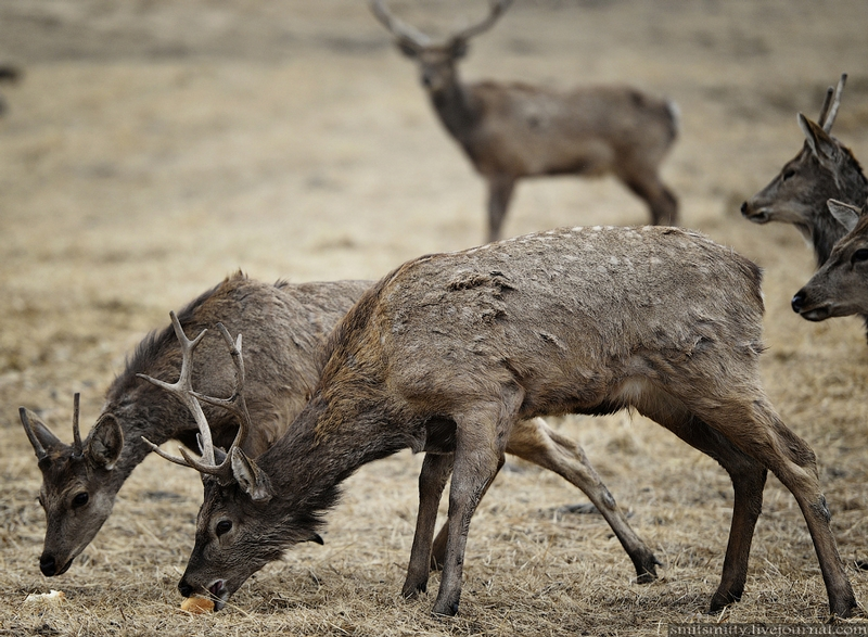 Red Deer From Altai Have A Long 8 Day Trip