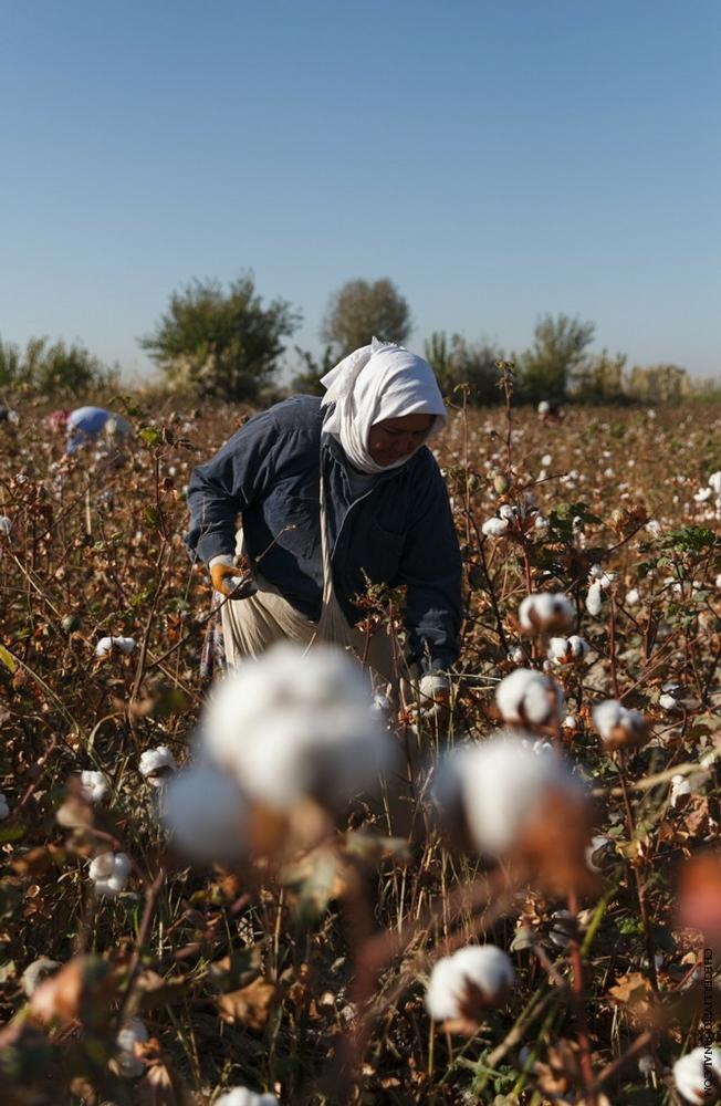 How Cotton Is Picked in Uzbekistan