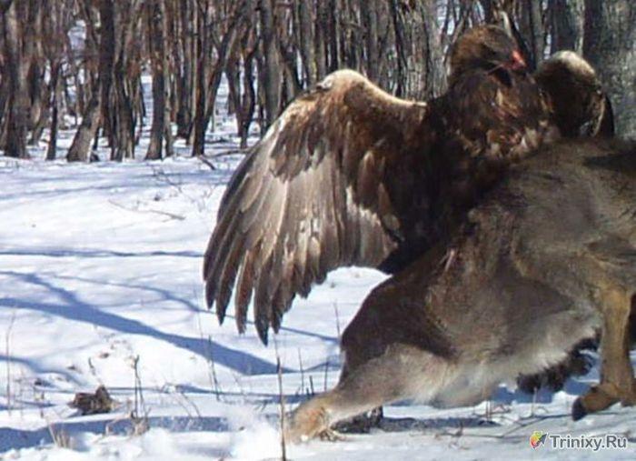 Golden Eagle Attacks Deer