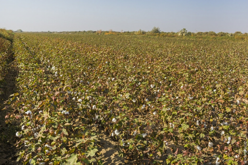 Family of a Cotton Picker