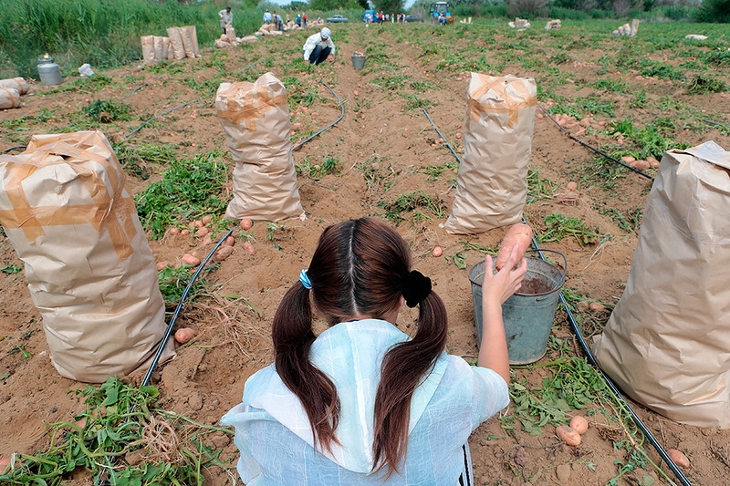 It Is Time To Harvest Potatoes