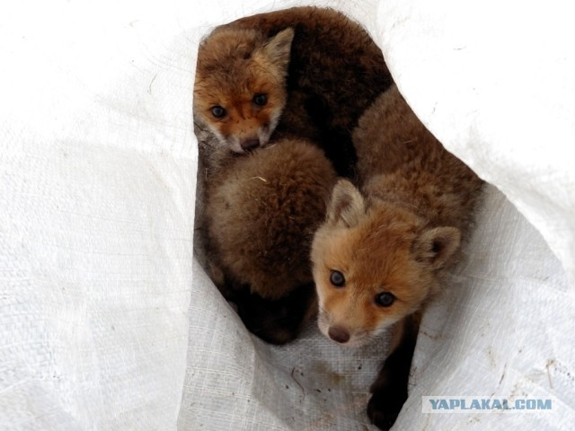 Saving Foxes From the Deep Well