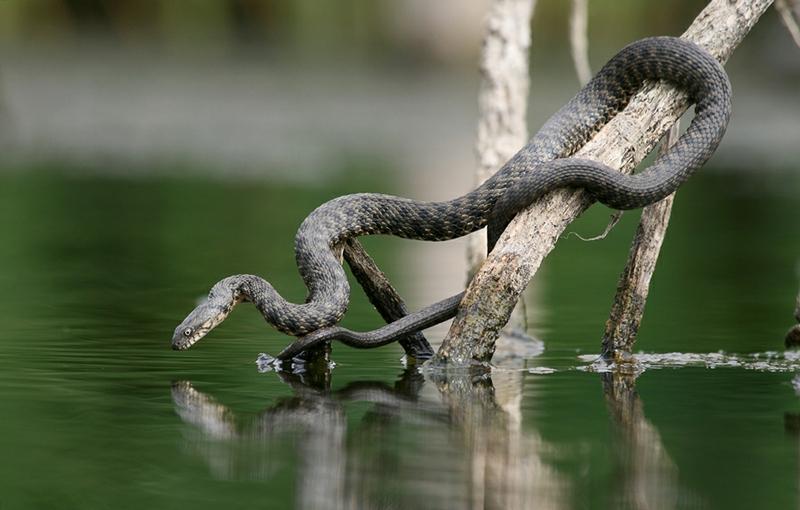 Snakes Go Fishing