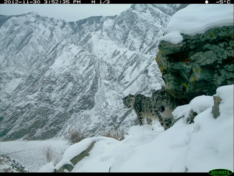 Mountains of a Snow Leopard