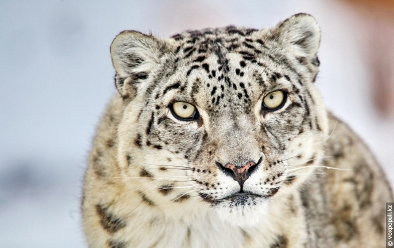 Following the Traces of Snow Leopards