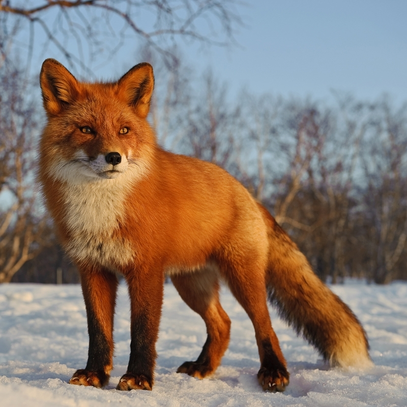 Close View of Kamchatka Foxes