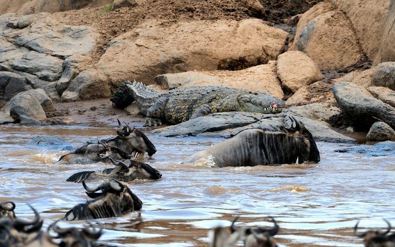 Hungry African Crocodiles