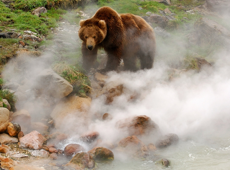 Bears In the Valley of Geysers