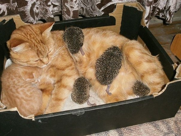 Baby Hedgehogs Have a Cat Mom
