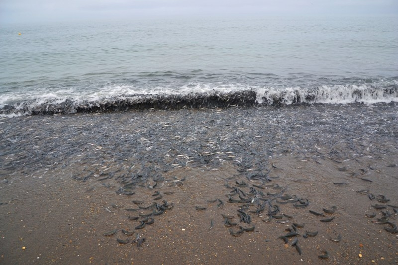 Death Dancing of Capelin