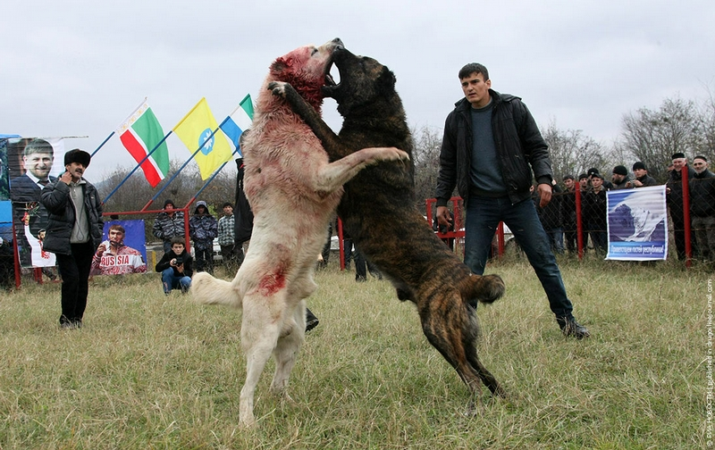 Caucasian shepherd russian prison dogs images amp pictures becuo