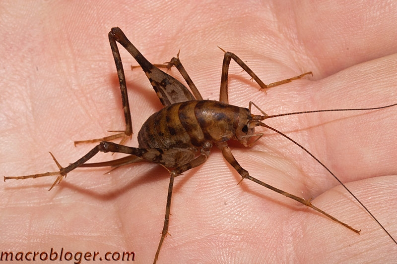 crickets visit a wikipedia for reviews leave your review on
