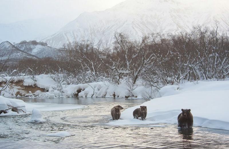 Wildlife Of Kamchatka In Winter