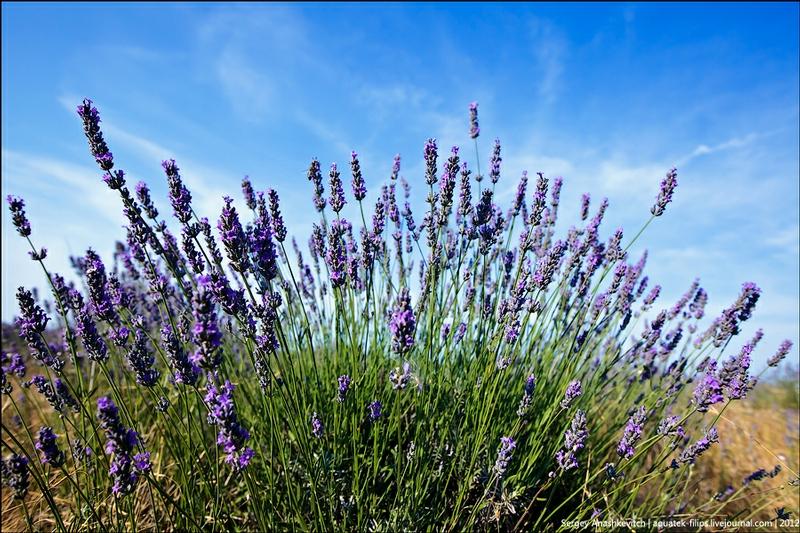 Blooming Lavander Fields