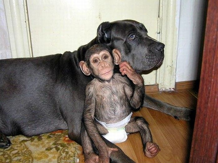 Chimpanzee Adopted By a Mastiff
