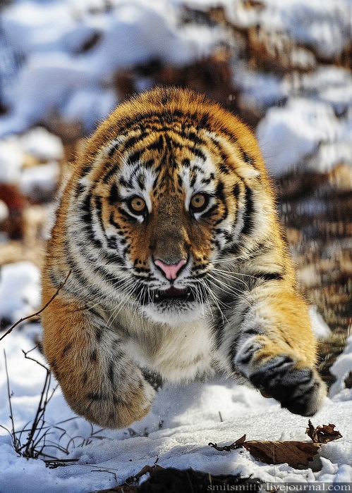 Russian Siberian Tigers In the Safari Park