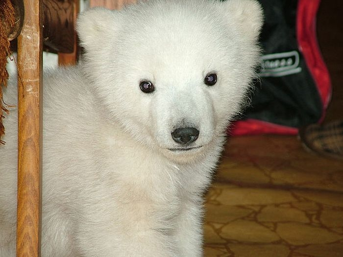 Baby Bear Rescued In Chukotka