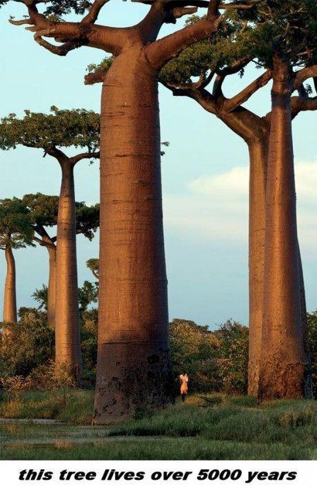 Baobab Tree Is Amazing