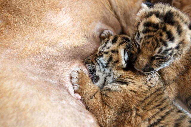 Abandoned Siberian Tiger Cubs Adopted By Shar Pei