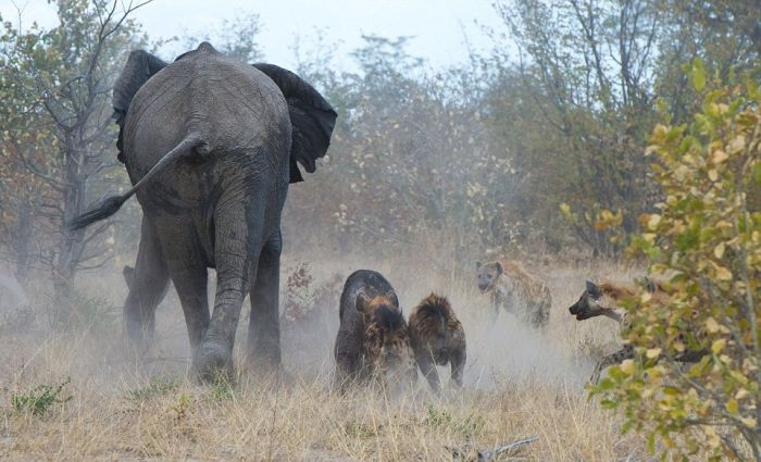 Elephant vs. Hyenas