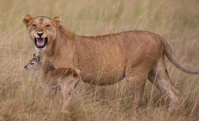Lioness Adopts Baby Antelope