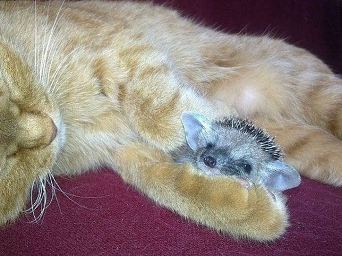 Mother Cat Adopts Baby Hedgehogs