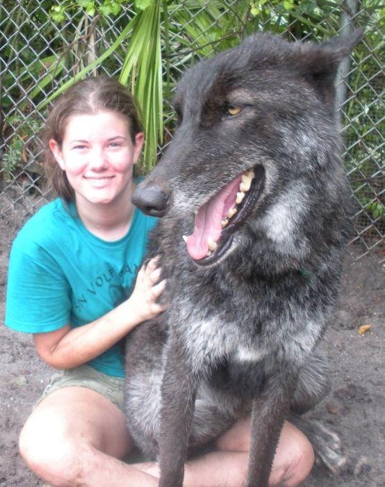 Pet Wolf Yuki