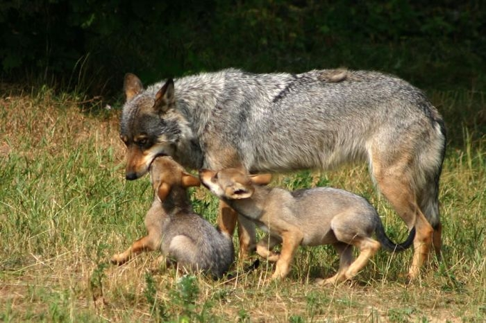 Photos of Wolves
