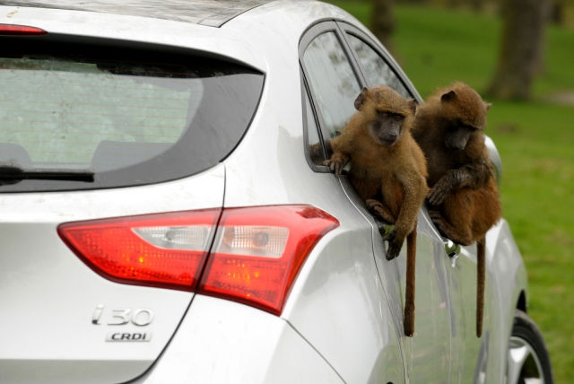 Hyundai Uses Monkeys Тo Тest Сar