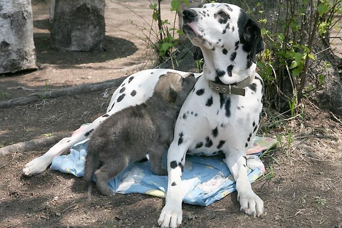 Dalmatinian Dog Adopts A Wolf Cub