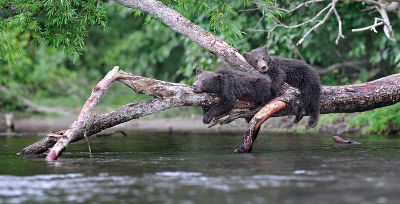 Bears of Kuril Lake, Part II