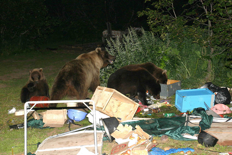 Bears attack tourists camp in Russia 2