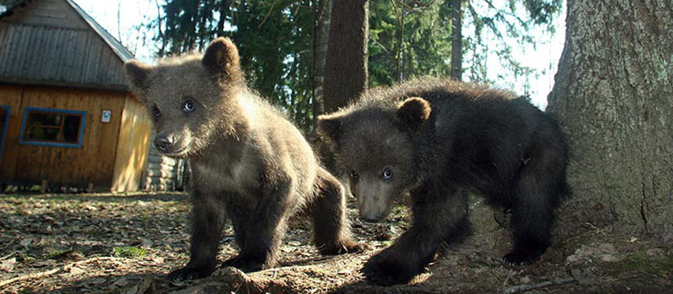 Russian bear growers 5