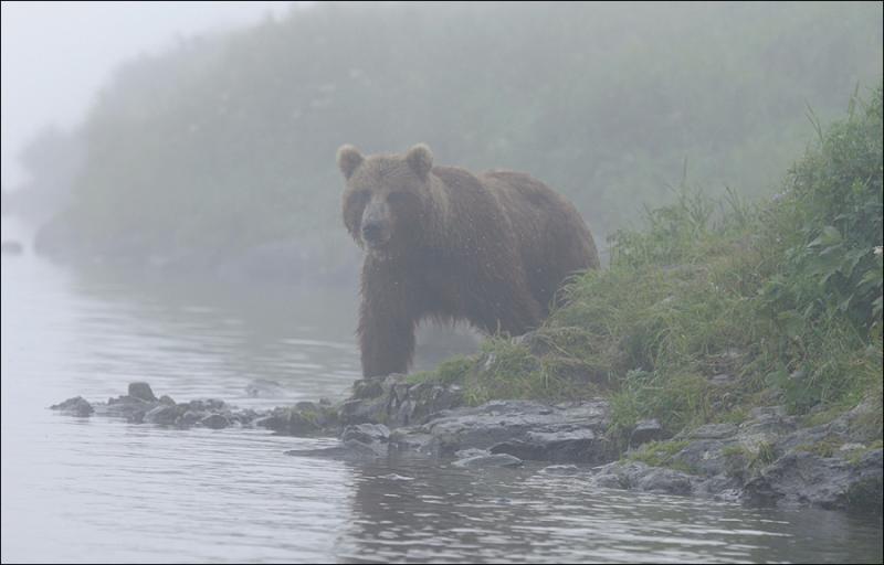 Bears In Fog 4