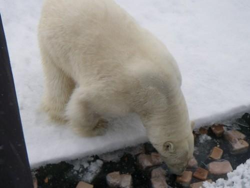 Polar bears on Russian submarine