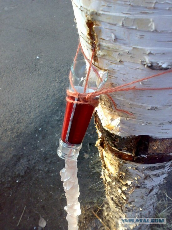 birch sap flowing from birch tree