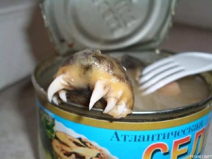 atlantic herring 4