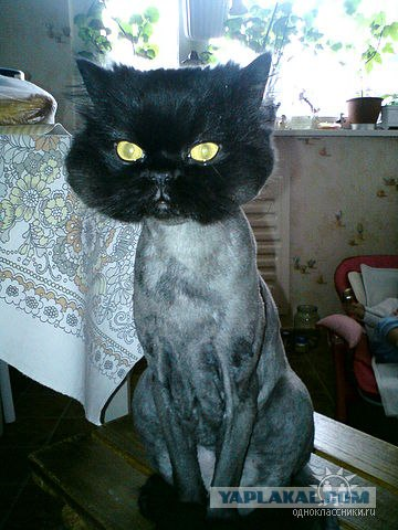 Russian guy shaves his cat