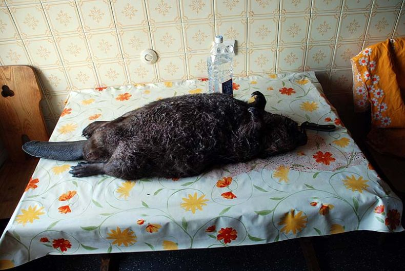 Russian cooked beaver 2