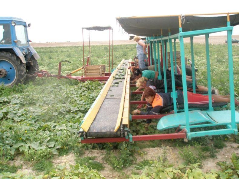 people pick up cucumbers in Belarus 1