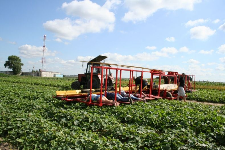 people pick up cucumbers in Belarus 10