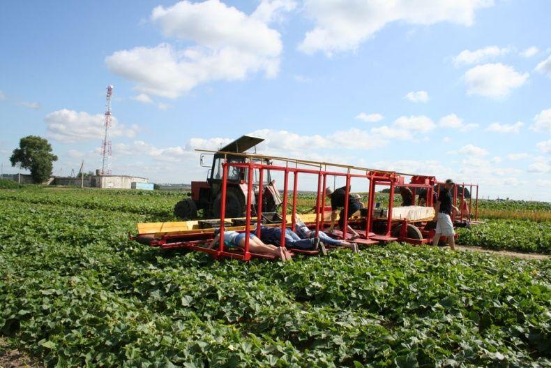 people pick up cucumbers in Belarus 10