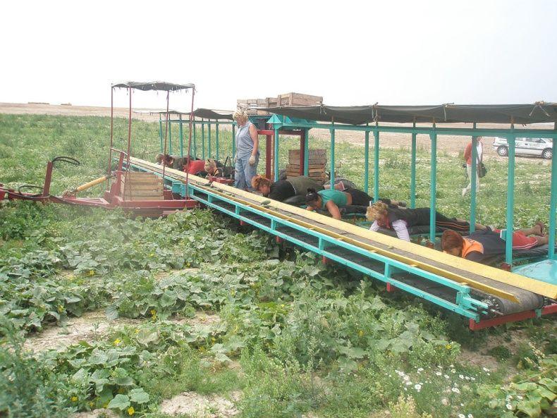 people pick up cucumbers in Belarus 2