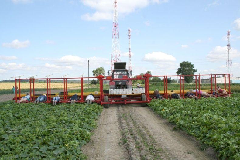 people pick up cucumbers in Belarus 5