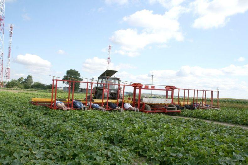 people pick up cucumbers in Belarus 6