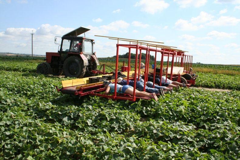 people pick up cucumbers in Belarus 7